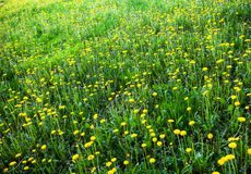 Meadow with lots of blooming yellow dandelions Royalty Free Stock Photos