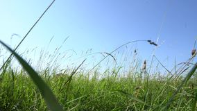 Meadow with tall grass low. Meadow low angle shot with tall green grass  against blue sky stock video footage