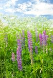 Meadow lupine Stock Photo