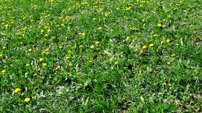Meadow with many dandelion flowers in spring