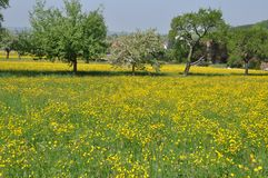 Meadow with many dandelions and apple trees Royalty Free Stock Image