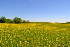 Meadow with a many dandelions royalty free stock images