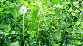 Meadow with many veronica flowers, day nettle and dandelion. Meadow with many veronica flowers with various other lush green plants in the morning in a sunny day stock video