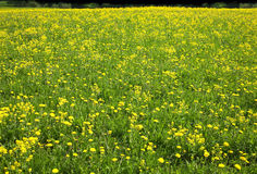 Meadow with many yellow dandelions Royalty Free Stock Images