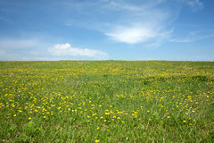 Meadow with many yellow dandelions and sky Royalty Free Stock Images