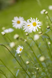 Meadow with marguerite Royalty Free Stock Image