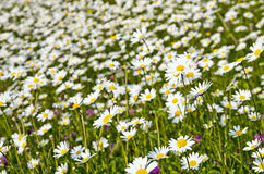 Meadow of marguerites Royalty Free Stock Images