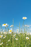 Meadow with marguerites Stock Photography