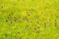 Meadow with marsh ochid flowers Royalty Free Stock Photography