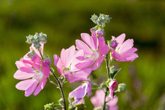 Meadow Mauve pink sways in breeze. Meadow Mauve pink sways in the breeze Stock Photography
