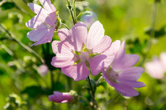Meadow Mauve pink sways in breeze. Meadow Mauve pink sways in the breeze Stock Photo