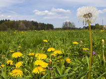 Meadow in May full flowering yellow dandelions Stock Photos
