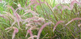 Meadow of Mission Grass or Pennisetum with Flower Royalty Free Stock Images