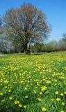 meadow mniszek Zdjęcia Royalty Free