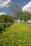 meadow mniszek Zdjęcie Royalty Free