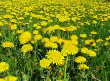 meadow mniszek Zdjęcie Stock