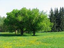 meadow mniszek Fotografia Stock