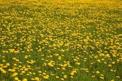 meadow mniszek Obraz Royalty Free