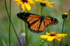 Meadow monarch butterfly royalty free stock photos