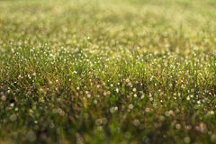 Meadow and morning dew. The picture shows grass covered with dew Stock Images