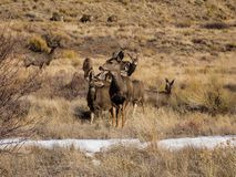Meadow of Mule Deer royalty free stock image