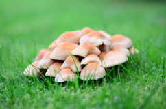 Meadow mushroom Royalty Free Stock Photography