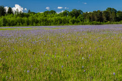Meadow of native camas plants Royalty Free Stock Photo