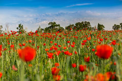 Meadow nature landscape flowers poppy Royalty Free Stock Image