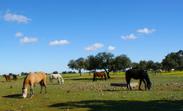 Meadow of oaks with horses. 1 Stock Image