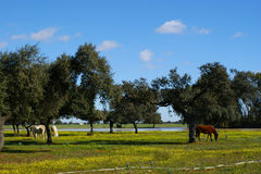 Meadow of oaks with horses Stock Photography