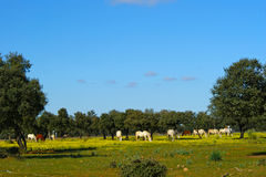 Meadow of oaks with horses. 2 Stock Photo
