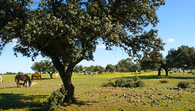 Meadow of oaks with horses. 5 Royalty Free Stock Photo