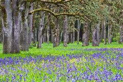 Free Meadow Of Blue Camas Wildflowers With Oak Tree Forest Royalty Free Stock Photos - 115161538