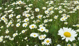 Meadow Of Wild Chamomile Flowers Stock Photos