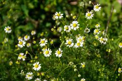 Meadow of officinal camomile flowers Matricaria chamomilla. Meadow of the officinal camomile flowers Matricaria chamomilla royalty free stock image