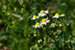 Meadow of officinal camomile flowers Matricaria chamomilla. Meadow of the officinal camomile flowers Matricaria chamomilla royalty free stock photos