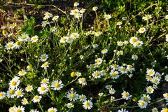 Meadow of officinal camomile flowers Matricaria chamomilla Stock Photos