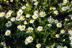 Meadow of officinal camomile flowers Matricaria chamomilla Stock Photo