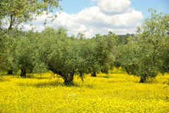 Meadow and olive tree Royalty Free Stock Photography