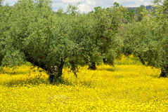 Meadow and olive tree Royalty Free Stock Photos