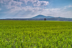 Meadow and one tree near Tsar Asen, Bulgaria. Wheat meadow and a tree near Tsar Asen village royalty free stock images