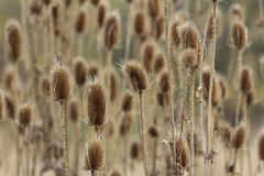 Meadow of orange thistle flowers Royalty Free Stock Images