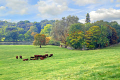 Meadow of organic cows Royalty Free Stock Photography