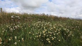 Meadow in Orkney Islands, Scotland stock video footage