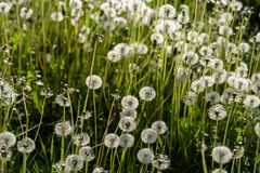 Meadow overgrown with dandelions lit by bright sunlight. royalty free stock photo