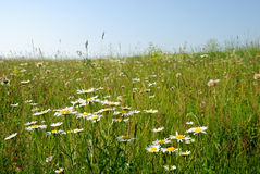 Meadow of ox-eye-daisy. And blue sky stock photography