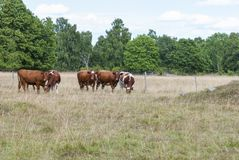 Meadow pasturing cows in summer Stock Images