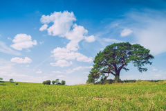 Meadow with pine tree in Latvia. Stock Photography
