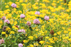 meadow of pink clover and yellow flowers Royalty Free Stock Images
