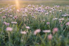 Meadow of Pink Flowers. Pink field of flowers glowing in the first rays of the morning sun. Background. Horizontal Royalty Free Stock Images